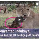 Usai Menyantap Induknya, Singa Ini Lakukan Hal Tak Terduga pada Seekor Bayi Kera