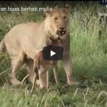 Video 7 aksi hewan buas berhati mulia
