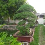 Koleksi Tananam Bonsai Santigi Laut Dan Pohon Beringin